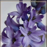 Мои гиацинты... Фиолетовый... :: Дарья Казбанова