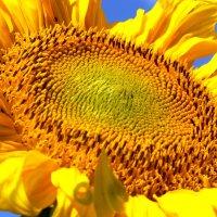 солнечные цветы-8 :: Богдан Вовк