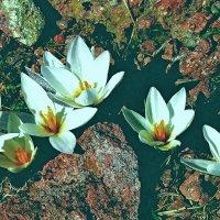 Первоцветы :: Александр Грищенко
