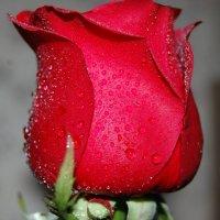 Роза :: Ann