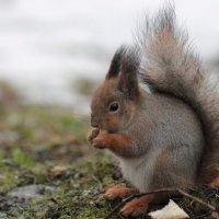 Белка песенки поет, да орешки все грызет :: Мария Солодкова