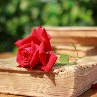Красная  роза... :: Наталья Казанцева