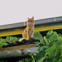 Кошке хочется на крышу, чтоб влюбляться под луною. :: Ольга Кривых