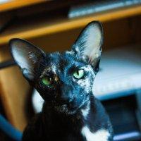 Кошка :: Валентин Каргин