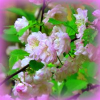 Миндаль в цвету :: Наталья Лакомова