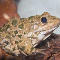 Серая жаба :: Марина Назарова