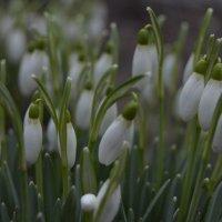 Первые цветы весны :: Анастасия Меркулова