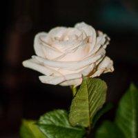 чайная роза 2 :: елена брюханова