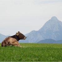 Альпийская корова :: Виктория Иванова