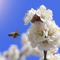 Пчела и слива. :: Сергей Щербатюк