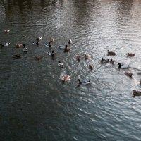 Уточки кушают на речке. :: Екатерина Василькова