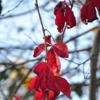 виноград осень :: александр
