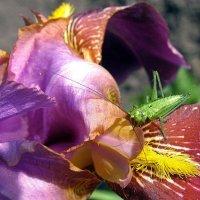 В цветке сидел кузнечик... :: Надежда Ивашкина