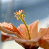 Это китайская роза :: Елена Ахромеева