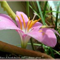 Аленький  цветочек :: Валерий Викторович РОГАНОВ-АРЫССКИЙ