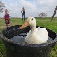 Duck :: Veronika Lysenko