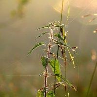 утро крапивы :: gribushko грибушко Николай