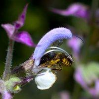 Пчела :: Руслан Веселов