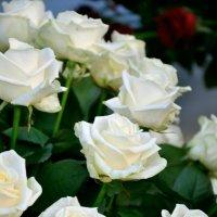розы :: Владимир Юминов