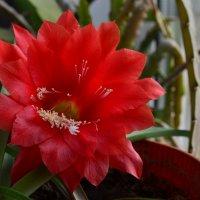 Расцвет кактуса :: Александр Байдалин