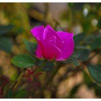 roza :: artur minzer