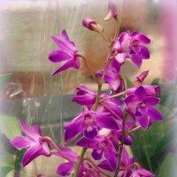 Dendrobium :: Ирья Раски