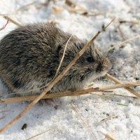 просто мышь :: Александр Alexxnsk