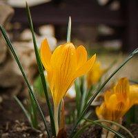 весна идет, цветут крокусы :: Ирина Рассветная