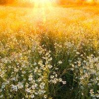 Солнечно-ромашковое настроение... :: Александр Никитинский