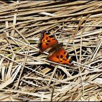 Первая бабочка в марте :: Viktor Makarov
