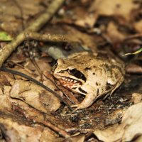Травяная лягушка квакша :: Ольга Семенова