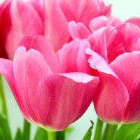 Тюльпаны :: Anastasia Mironova