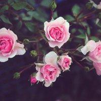 Wild roses :: Ольга Гусакова