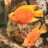 золотая рыбка :: navalon M