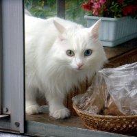 Сосед по балкону! Обратите внимание у него разные глаза! :: Елизавета Успенская