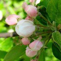 Весенний цветик :: Владимир Гилясев