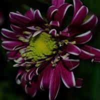 цветок :: Наталья Журавлева