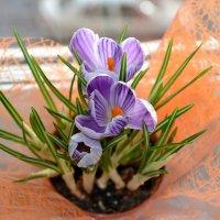 весна на окошке :: Елена Третьякова