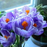 весенний цветок Крокус :: Михаил Bobikov