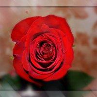 Роза :: Анна S