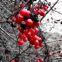 .....калина красная...... :: Ира Егорова :)))
