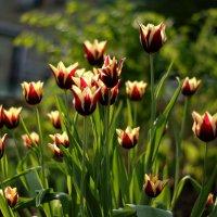 букет тюльпанов :: gribushko грибушко Николай