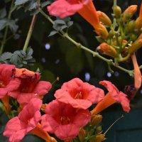 Летние  цветы :: Елена