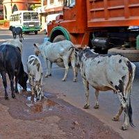 Индия. Священные коровы :: Владимир Шибинский