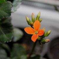 квітка :: Тарас Семигаленко
