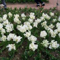 Белые тюльпаны :: Галина Pavel