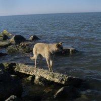 собака и море :: Ирина Красникова-Дашкова