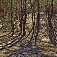 Сосновый лес :: Лидия Цапко