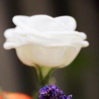 На фоне белой розы :: Gary Snayder
