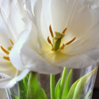 Белые тюльпаны) :: Анна Пацакула